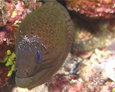 Giant moray cleaning and being cleaned, Gymnothorax javanicus, UP14137 Stock Footage