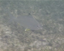 Deep-bodied mojarra feeding on seagrass meadow, Gerres erythrourus, UP14143 Stock Footage