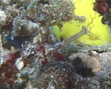 Winged pipefish looking around, Halicampus macrorhynchus, UP14156 Stock Footage