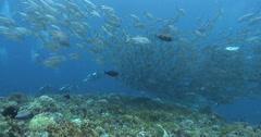 Bigeye trevally swimming and schooling on coral reef, Caranx sexfasciatus, 4K Stock Footage