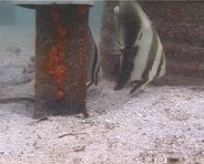 Round batfish swimming, Platax orbicularis, UP14179 Stock Footage
