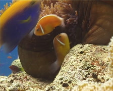Pink anemonefish tending eggs, Amphiprion perideraion, UP14183 Stock Footage