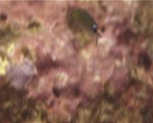 Slender reef-damsel feeding, Pomachromis richardsoni, UP14189 Stock Footage
