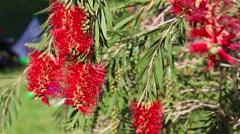 Australian bottlebrush blossom Stock Footage