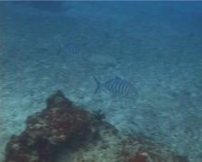 Blue trevally swimming, Carangoides ferdau, UP14210 Stock Footage