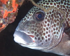 Many spotted sweetlips hovering, Plectorhinchus chaetodonoides, UP14209 Stock Footage