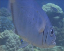 Cleaner wrasse cleaning and being cleaned, Labroides dimidiatus, UP14213 Stock Footage