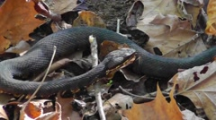 Amid Nature Water Moccasin AKA Cottonmouth Stock Footage