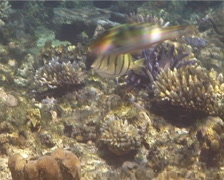 Convict tang swimming, Acanthurus triostegus, UP14249 Stock Footage