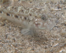 Triplespot goby breathing on sand, Oplopomus caninoides, UP14282 Stock Footage