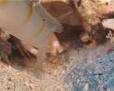 Randalls shrimpgoby guarding, Amblyeleotris randalli, UP14292 Stock Footage