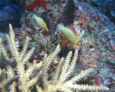 Beaked leatherjacket feeding, Oxymonacanthus longirostris, UP14299 Stock Footage