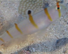 Randalls shrimpgoby, Amblyeleotris randalli, UP14289 Stock Footage