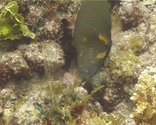 Orange-lined triggerfish swimming, Balistapus undulatus, UP14306 Stock Footage