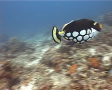 Clown triggerfish swimming, Balistoides conspicillum, UP14308 Stock Footage