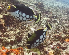 Female adult Clown triggerfish tending eggs, Balistoides conspicillum, UP14315 Stock Footage