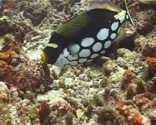 Female adult Clown triggerfish tending eggs, Balistoides conspicillum, UP14310 Stock Footage