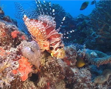 Zebra lionfish, Dendrochirus zebra, UP14330 Stock Footage