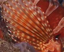 Zebra lionfish, Dendrochirus zebra, UP14332 Stock Footage