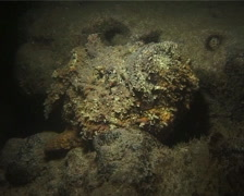 Reef stonefish, Synanceia verrucosa, UP14337 Stock Footage