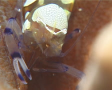 Popcorn shrimp sniffing, Periclimenes brevicarpalis, UP14355 Stock Footage