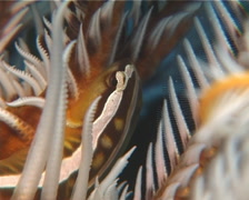 Crinoid clingfish looking around, Discotrema crinophilum, UP14360 Stock Footage