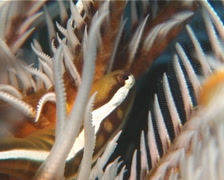 Crinoid clingfish looking around, Discotrema crinophilum, UP14359 Stock Footage