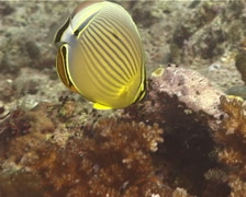 Redfin butterflyfish feeding, Chaetodon lunulatus, UP14369 Stock Footage