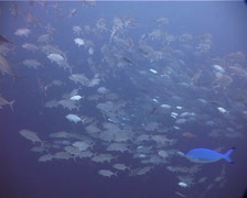 Bigeye trevally swimming and schooling in bluewater, Caranx sexfasciatus, - stock footage