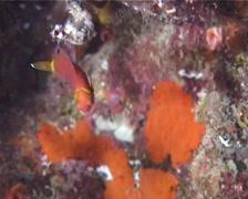 Sharpnose wrasse swimming, Wetmorella nigropinnata, UP14396 - stock footage