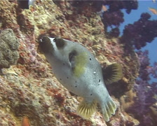 Black-spotted pufferfish behaving strangely, Arothron nigropunctatus, UP14406 Stock Footage