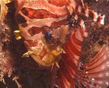 Zebra lionfish, Dendrochirus zebra, UP14429 Stock Footage
