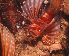 Zebra lionfish, Dendrochirus zebra, UP14428 Stock Footage