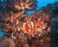 Zebra lionfish, Dendrochirus zebra, UP14427 Stock Footage
