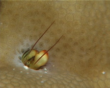 Yellow coral hermit shrimp housekeeping, Paguritta corallicolla, UP14435 Stock Footage