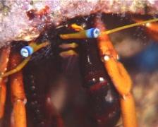 Blue eyed orange hermit crab sniffing, Calcinus gaimardii, UP14445 Stock Footage