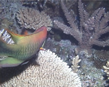Slingjaw wrasse hunting, Epibulus insidiator, UP14453 Stock Footage