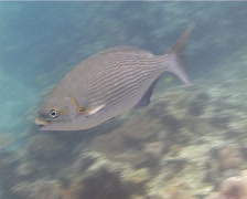 Lowfin drummer swimming, Kyphosus vaigiensis, UP14475 Stock Footage