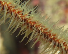 Yellow helix whip coral swaying, Cirripathes anguina, UP14507 Stock Footage