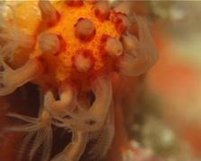 Unidentified orange finger coral feeding at dusk, Paraminabea sp. Video 14512. Stock Footage