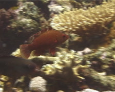 Snooty wrasse swimming, Cheilinus oxycephalus, UP14528 Stock Footage