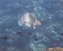 Female adult Humphead maori wrasse swimming, Cheilinus undulatus, UP14535 Stock Footage