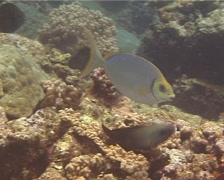 Forktail rabbitfish feeding, Siganus argenteus, UP14556 Stock Footage
