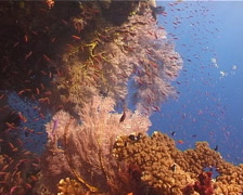 Ocean scenery fans, anthias, on shallow coral reef, UP14593 Stock Footage