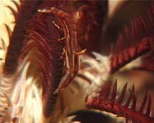Variable crinoid shrimp at night, Periclimenes amboinensis, UP14613 Stock Footage