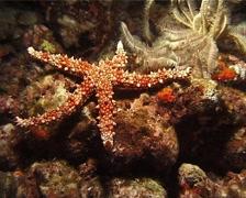 Orange spot sea star walking at night, Gomophia egyptiaca, UP14616 Stock Footage