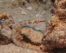 Unidentified rubble pipefish looking around, Corythoichthys sp. Video 14624. Stock Footage