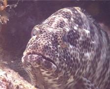 Foursaddle grouper backing up, Epinephelus spilotoceps, UP14659 Stock Footage