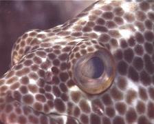 Foursaddle grouper looking around, Epinephelus spilotoceps, UP14660 Stock Footage
