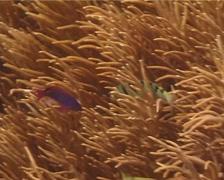 Sixbar wrasse hunting, Thalassoma hardwicke, UP14650 Stock Footage
